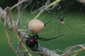 The Black Widow spider has a nasty bite, but it is not fatal.