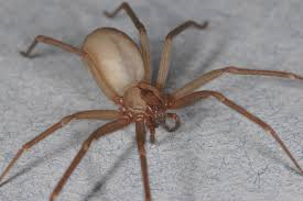 The Brown Recluse spider has a very nasty bite and the wound can get cancerous.